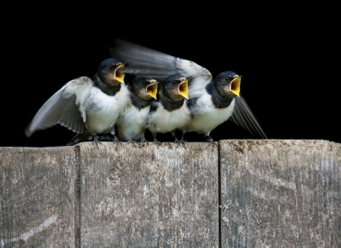 Swallow youngsters