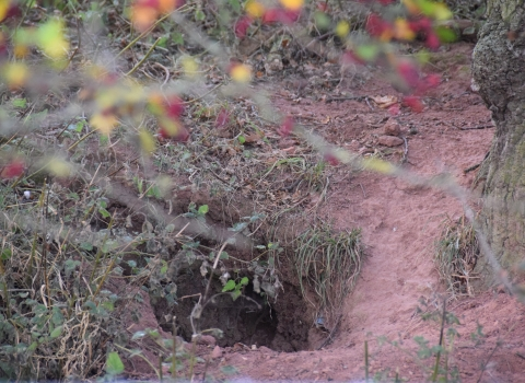 Badger hole red hills Tollesbury