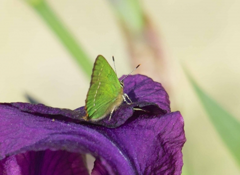 Green Hairstreak Derek Moore