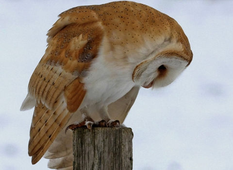 Barn Owl - Russell Savory