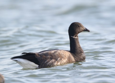 Brent Goose by Andrew Armstrong