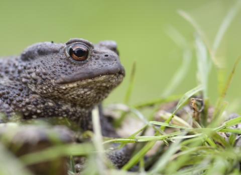 Common Toad - Tom Marshall