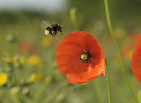 Buff-tailed bumble bee and poppy